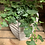 Thumbnail: Ivy in Tall Planter