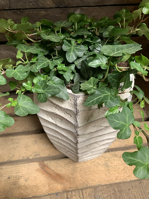 Ivy in Tall Planter