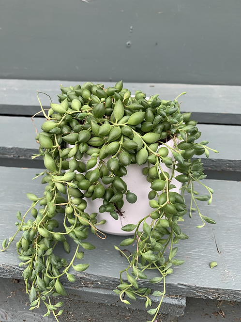 String of Pearls in White Pot
