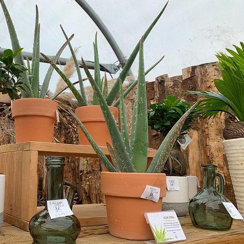 Aloe Vera Large