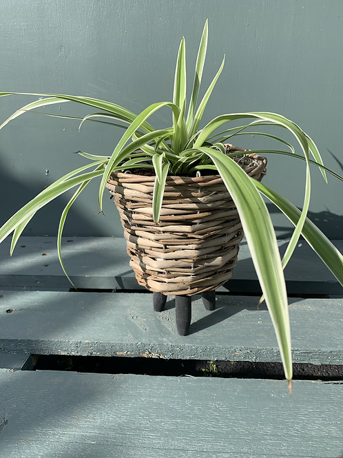 Spider Plant in Basket Pot with Feet
