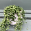 Thumbnail: String of Pearls in White Pot