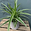 Thumbnail: Spider Plant in Pot - multiple pots & prices options