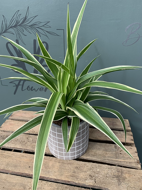Spider Plant in Pot - multiple pots & prices options