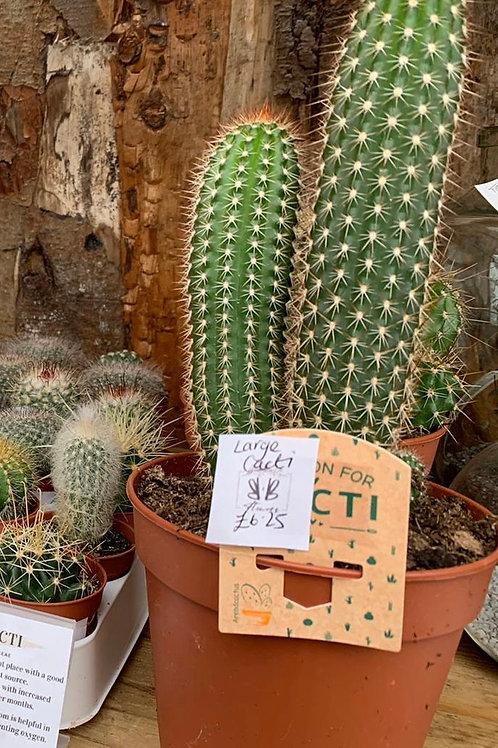 Cacti Large