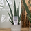 Thumbnail: Aloe Vera in pot - multiple pot/ price options