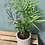 Thumbnail: Chamaedorea Elegans in pot - multiple pot options