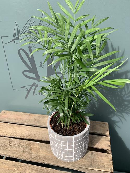 Chamaedorea Elegans in pot - multiple pot options