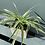 Thumbnail: Spider Plant in Grey Square Pot