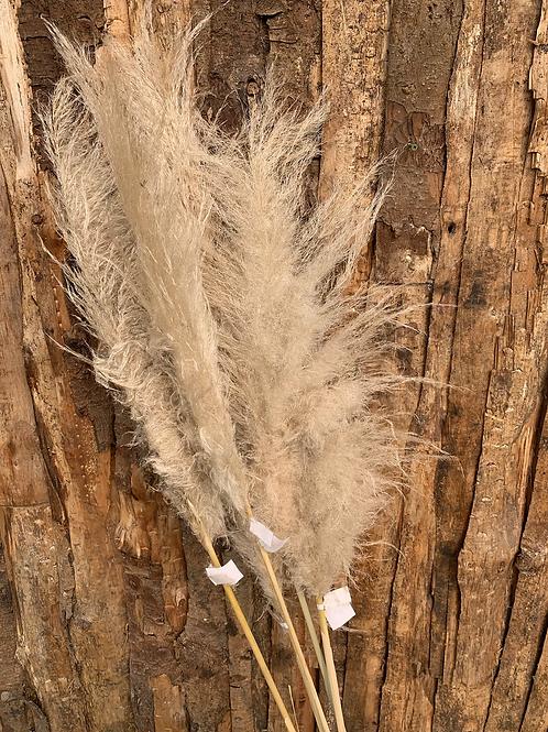 Tall Natural Pampas per stem