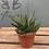 Thumbnail: Small Aloe Vera