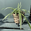 Thumbnail: Spider Plant in Basket Pot with Feet