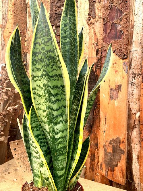 Snake Plant - Large