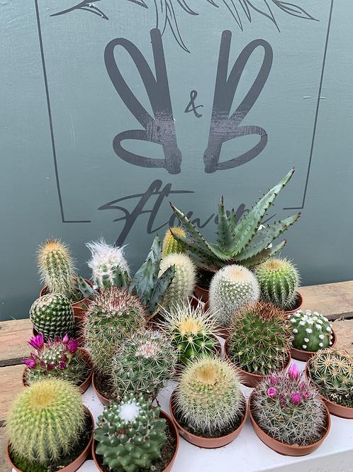 Small Cacti 3 in a Box