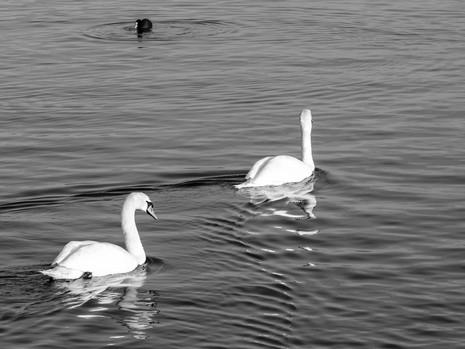 Mirror Swan