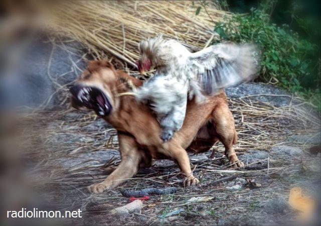 chicken kicks dog.jpg