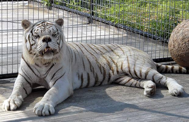 tigre con down.jpg