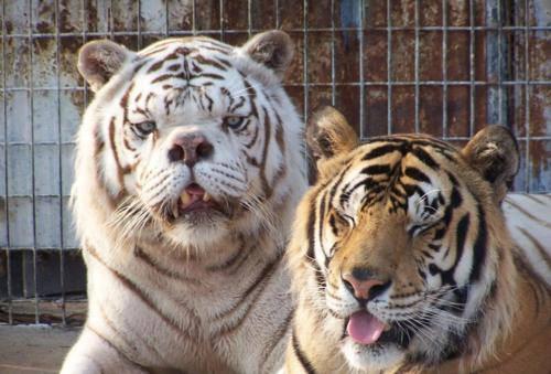 tiger down.jpg
