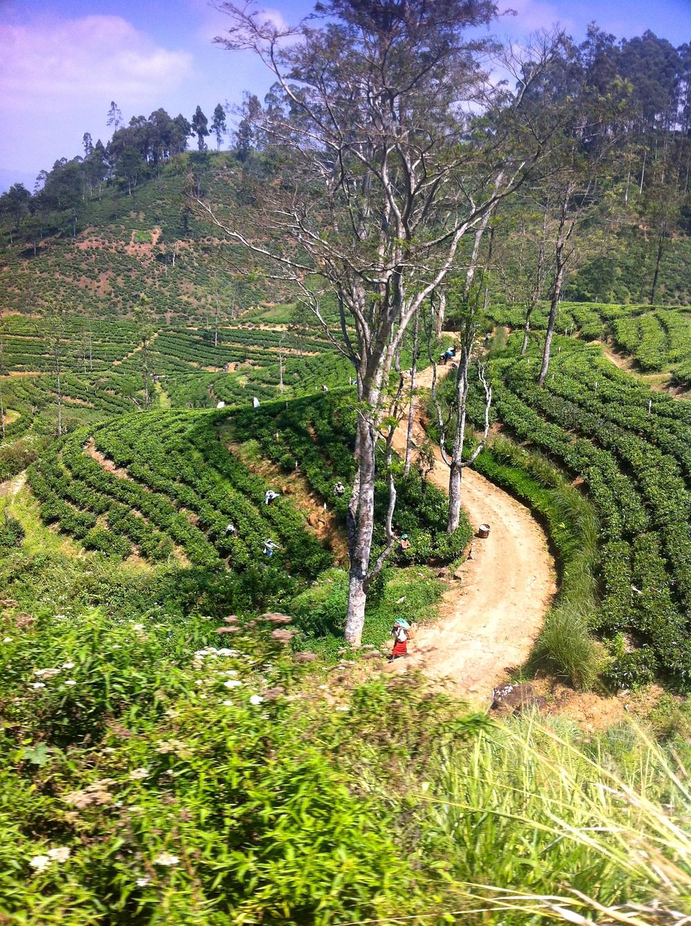 Tea pickers Nuwara Eliya