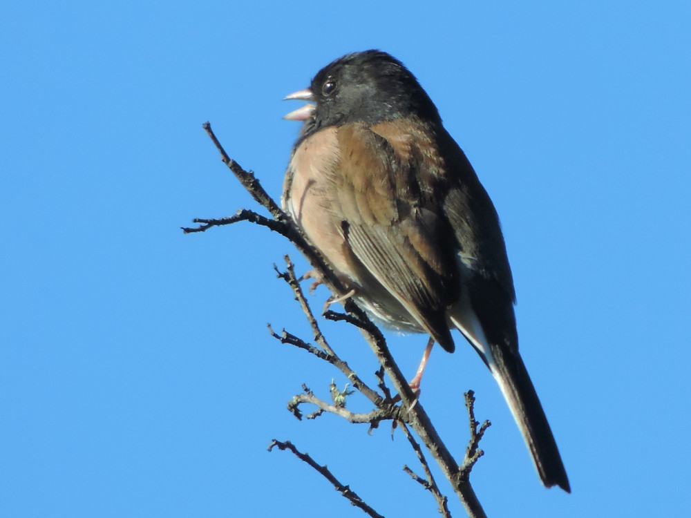 junco singing susanaprana