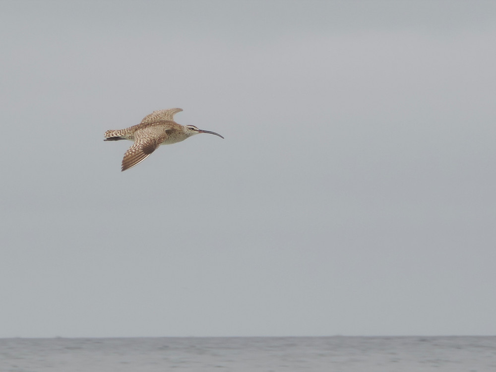 curlew flying