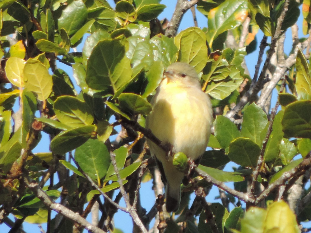 female godfinch