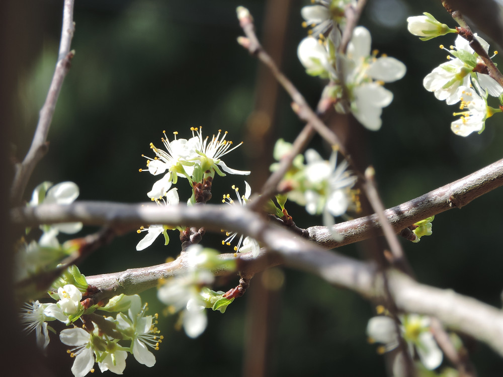 prune tree blooming.JPG