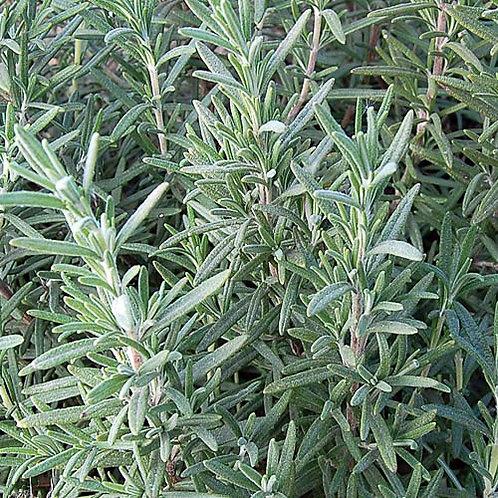 Rosemary Leaf - Rosmariunus officinalis