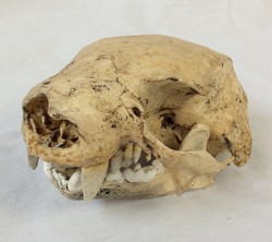 Bone Clones Two-Toed Sloth Skull