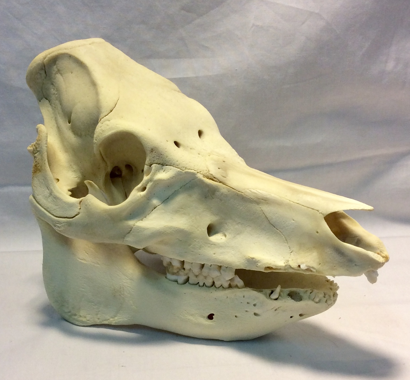 Domestic Boar Skull (Real)
