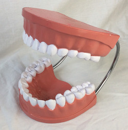Large model display jaw and teeth for dental office