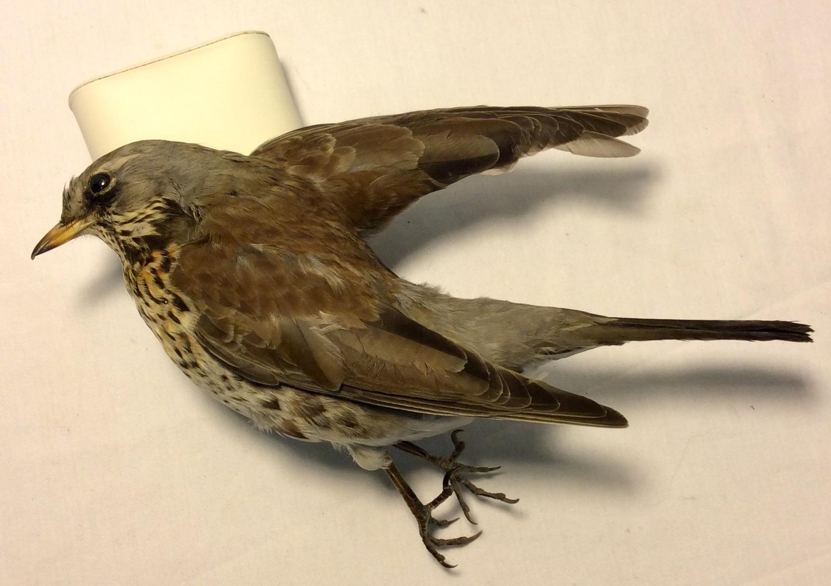 Taxidermy Bicknell's Thrush bird