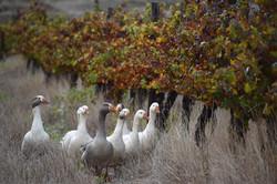 Ducks in the vinyard May 2019