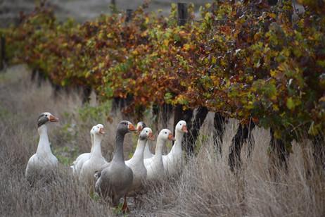 Ducks in the vinyard May 2019.JPG