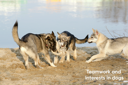 Teamwork and interests in dogs