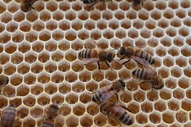 Honey bees with honey