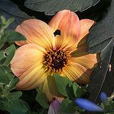 4471_yellow_orange flower-mid-summer-Aug