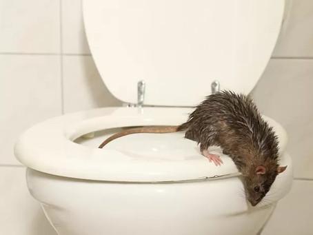 Rat klimt uit wc pot tijdens afvegen en bijt vrouw in achterwerk in Assen