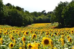 sunflowers-685367_1280