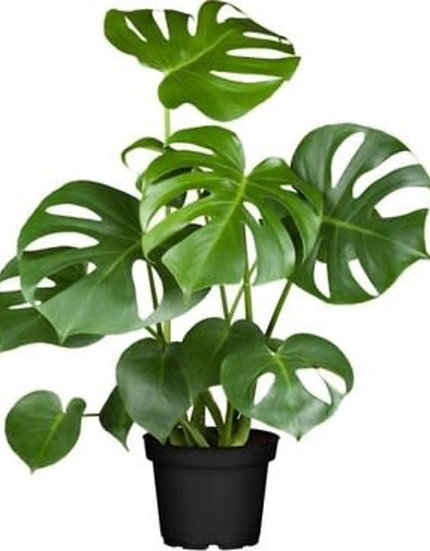 Costela de Adão – Monstera deliciosa