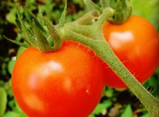 Cultive deliciosos Tomates.
