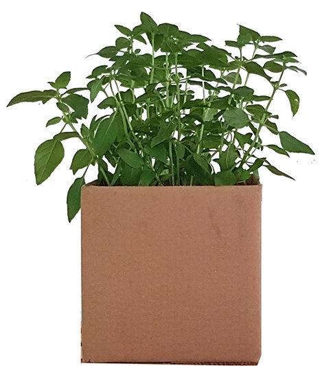 Plantas Adultas - Temperos, chás, PANCs
