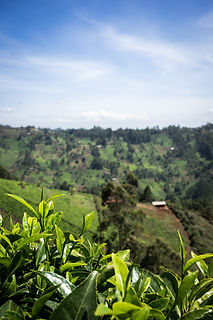 Tea,_Kenya_©_Ola_Höiden_for_Fairtrade.