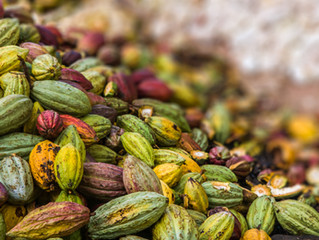 Update on Living Income in the Cocoa Sector