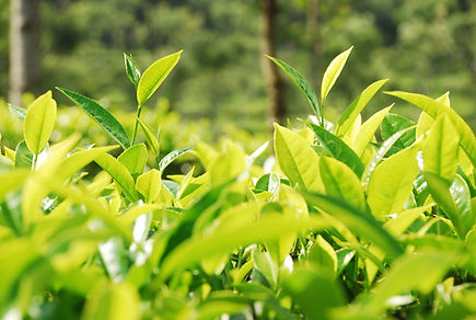 Tea_leaves,_India_©_Rainforest_Alliance