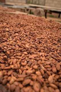 Cocoa,_Ghana_©_Kate_Fishpool_for_Fairtr