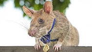 Rat.jpeg