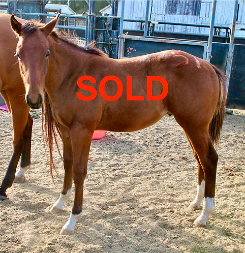 SOLD Q51 (Twisselena x K51 (unregistered) Bay Colt-white socks only DOB: 5/20/16