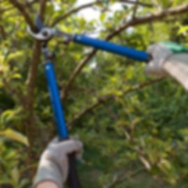 Farmer pruning an apple tree with prunin