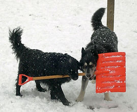 cute dogs playing with snow shovel
